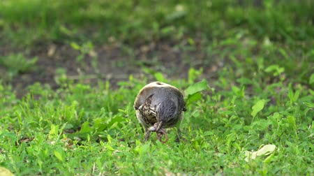 passarinho : Bird thrush jumps on a lawn in park. Bird thrush searches for worms and then eats them. Sunny summer morning. Vídeos