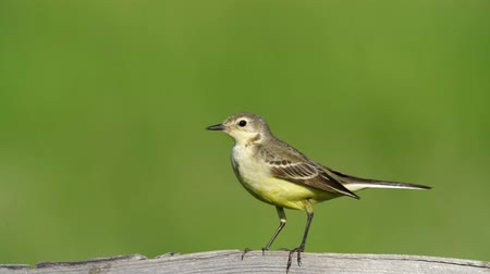 певчая птица : Yellow bird Yellow Wagtail sits on a wooden fence. Summer sunny morning. Close-up with good bokeh.