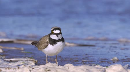 trampoliere : A little plover bird (charadrius) walks along the sandy shore near the water. Sunny summer morning, strong wind. Close-up.