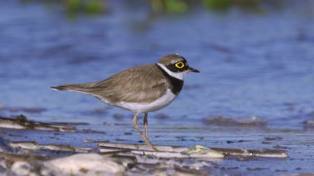 shorebird : A little plover bird (charadrius) walks along the sandy shore near the water. Sunny summer morning, strong wind. Close-up.
