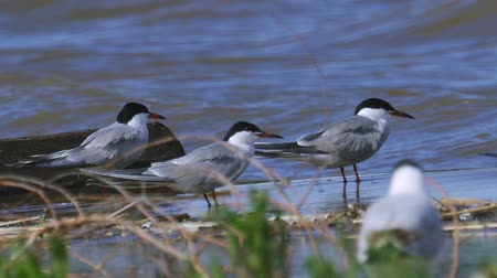 tern : Sit near the waters edge and rest. The waves roll on shore. Summer sunny morning, strong wind.