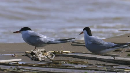 tern : Two birds sitting near the waters edge and rest. The waves roll on shore. Summer sunny morning, strong wind.