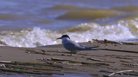 tern : Bird near the water and rests. The waves roll on shore. Summer sunny morning, strong wind. Stock Footage