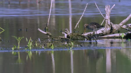 philomachus pugnax : Marsh Sandpiper Bird eats algae and bird Sandpiper Ruff male. Sunny summer morning in the swamp.