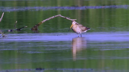 brodění : Bird marsh sandpiper walking Sunny summer morning in the swamp. Dostupné videozáznamy