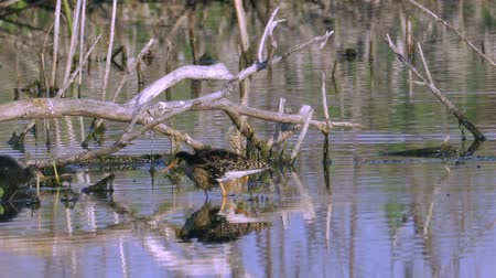 philomachus pugnax : Bird sandpiper Ruff male and coots nestling walk through the swamp. The mating season in birds. Sunny summer morning.