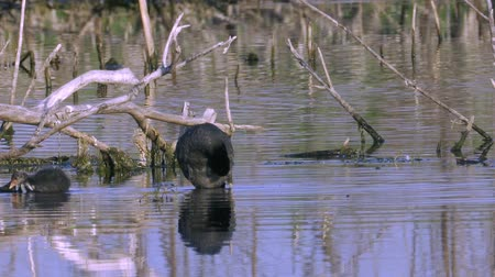 общий : A coot bird and its chicks walks through the shoal of a lake. Summer morning on the lake.