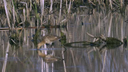 limosa : Bird marsh sandpiper walking Sunny summer morning in the swamp. Stock Footage