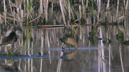 limosa : Marsh Sandpiper Bird eats algae and bird Sandpiper Ruff male. Sunny summer morning in the swamp.
