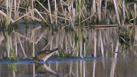 philomachus pugnax : Bird marsh sandpiper walking Sunny summer morning in the swamp. Stock Footage