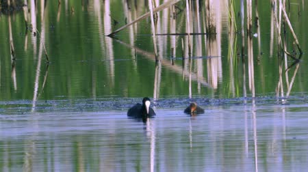 looking for : A coot bird swims in a lake, searches for edible algae, eats and its chicks. Sunny summer morning. Stock Footage