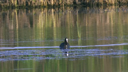 stěhovavý : A coot bird swims in a lake. A coot is looking for and eating them. Summer sunny morning. Close-up.