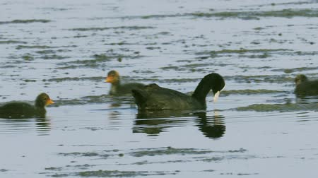 alga : A coot bird swims in a lake, searches for edible algae, eats and its chicks. Sunny summer morning. Stock Footage