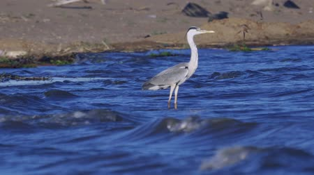 ardea : Watering fish rests after a successful hunt for fish. The waves roll on the sandy shore. Sunny wind morning.