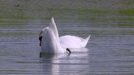 cisne : A pair of white wild swans birds swims in a lake. Take your own water out.