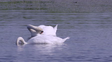 stěhovavý : A pair of white wild swans birds swims in a lake. Take your own water out.