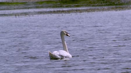 migratory birds : A large white bird wild swan swims in a lake. Summer morning