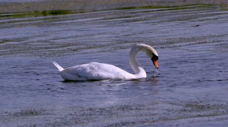 stěhovavý : A large white bird wild swan swims in a lake. It takes its head to the water. Summer morning Dostupné videozáznamy
