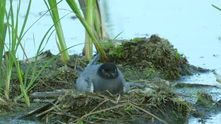 tern : Bird black tern sits on the nest and looks around. The nest is located on the marsh hummock. Summer evening.