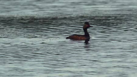 necked : Bird black-necked grebe (Podiceps nigricollis) swims around the evening lake. Summer evening after sunset.