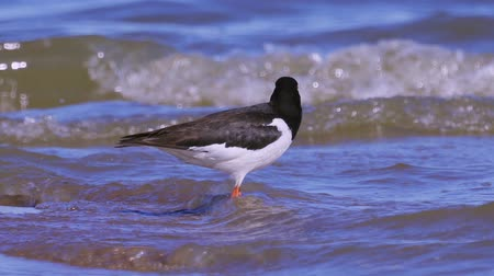 oysters : Eurasian oystercatcher (Haematopus ostralegus) walking along the sandy shore. Stock Footage