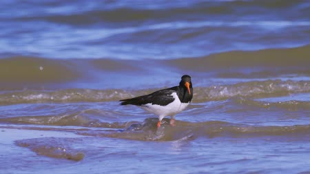 osztriga : Eurasian oystercatcher (Haematopus ostralegus) walking along the sandy shore. Stock mozgókép