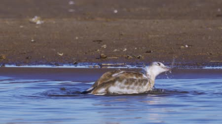 ridibundus : The bird is a young gull standing in the shallows and washes. Close-up. Stock Footage