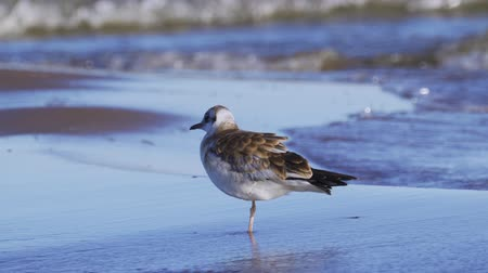 ridibundus : Bird young gull stands in water and rests.