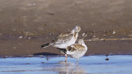 gaivota : Birds of young gulls stand in shallow water and rest.