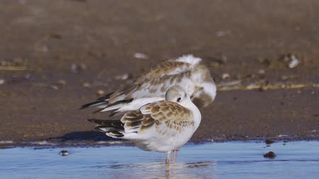 ridibundus : Birds of young gulls stand in shallow water and rest. Closeup. Stock Footage