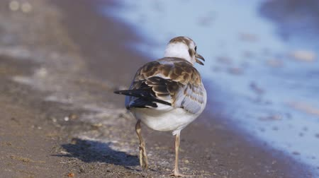 ridibundus : A young gull walks along, finds food and eats. Close-up. Stock Footage