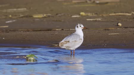 gaivota : The bird is a young gull standing in the shallows of the feathers.