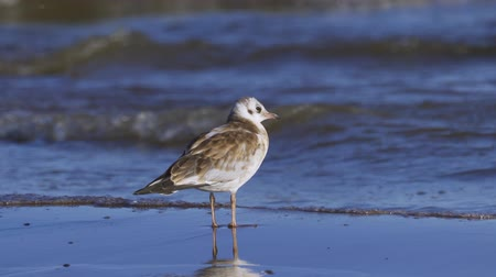 ridibundus : Bird young gull stands on the sandy shore and rests.