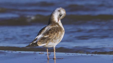 ridibundus : Bird young gull stands on the sandy shore and rests. Closeup.