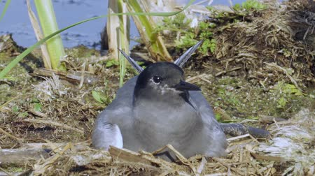 tern : Bird black tern sits on the nest and looks around. The nest is located on the marsh hummock. Sunny summer evening.