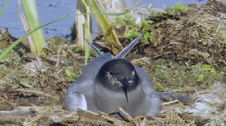 tern : Bird black tern sits on the nest and sleeps. The nest is located on the marsh hummock. Sunny summer evening.