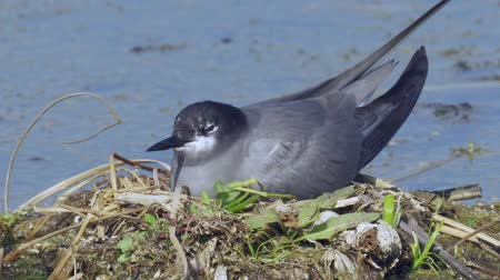 stěhovavý : Bird black tern sits on the nest and looks around. The nest is located on the marsh hummock. Sunny summer evening.