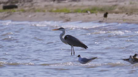 predatory bird : The gray heron bird (Ardea cinerea) stands in water and rests.