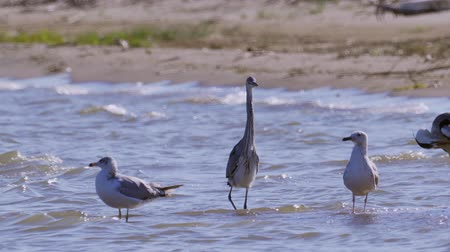 predatório : The gray heron (Ardea cinerea), black-necked heron (Ardea melanocephala) and the black-headed gull gulls (Ichthyaetus ichthyaetus) Vídeos