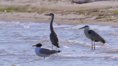 necked : The gray heron (Ardea cinerea), black-necked heron (Ardea melanocephala) and the black-headed gull gulls (Ichthyaetus ichthyaetus) Stock Footage
