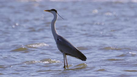 predatory bird : The gray heron bird (Ardea cinerea) stands in water and rests. Close-up.