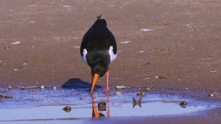oysters : Bird Eurasian oystercatcher (Haematopus ostralegus) walking along the sandy shoreline. Molusks in them. Stock Footage