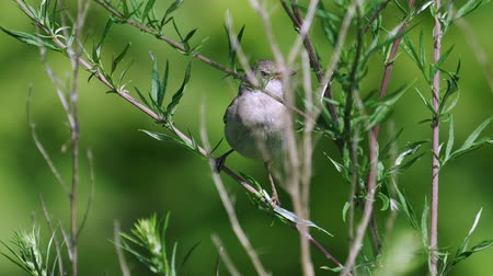 stěhovavý : It is a common whitethroat (flies).
