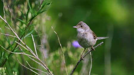 observação de aves : It is a common whitethroat (flies).