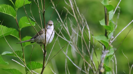 певчая птица : It is a common whitethroat (flies).