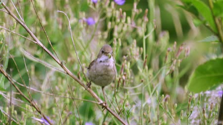 common whitethroat : It is a common whitethroat (flies).