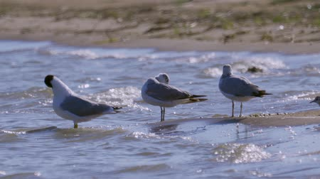 ridibundus : Three birds of great black-headed gull (Ichthyaetus ichthyaetus) are rest in shallow water. Stock Footage