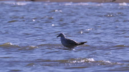 ridibundus : Young great black-headed gull (Ichthyaetus ichthyaetus) standing in the shallows and washes. Stock Footage