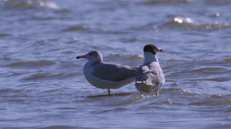 ridibundus : Two birds of great black-headed gull (Ichthyaetus ichthyaetus) are rest in shallow water. Stock Footage