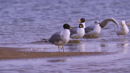миграционный : A flock of birds of gulls - great black-headed gull (Larus ichthyaetus) and steppe gull (Larus cachinnans) stand in shallow water.